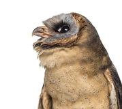 Close-up of an Ashy-faced owl (Tyto glaucops) Stock Photo