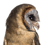 Close-up of an Ashy-faced owl (Tyto glaucops) Royalty Free Stock Photos