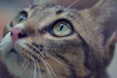Close up of a asian cats eyes Royalty Free Stock Photos