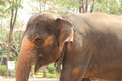Close up of asian elepahnt. Close up of asian elephant and chain around the neck stock images