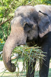 Close up of Asian elephant eating grass Royalty Free Stock Photo