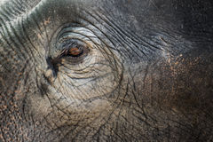Close up Asian elephant eye Stock Photography
