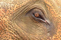Close up of Asian elephant eye Stock Photography