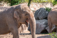 Close up of an Asian Elephant Stock Photography