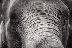Close up Asian elephant head ,Thailand Stock Photos