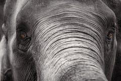 Close up Asian elephant head ,Thailand Stock Photos