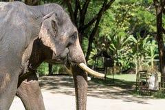 Close up of Asian elephant Stock Photo