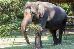 Close up of Asian elephant Royalty Free Stock Photography