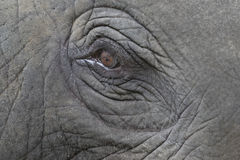 Close-up of an asian elephant Royalty Free Stock Image