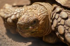 Close up Asian giant tortoise in the jungle,Slow life,Beautiful royalty free stock image