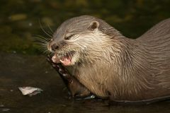 Close-up of Asian short-clawed otter biting fish Royalty Free Stock Image