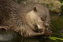 Close-up of Asian short-clawed otter chewing fish Stock Images