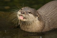 Close-up of Asian short-clawed otter looking up Royalty Free Stock Photos
