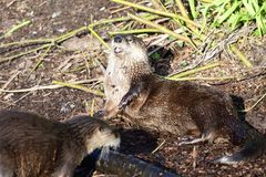Asian small clawed otter aonyx cinerea royalty free stock photography