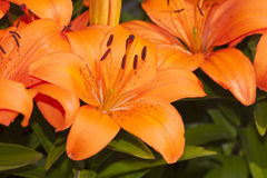 Close up of Asiatic Lily Royalty Free Stock Photo