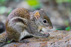 Close up of Asiatic striped squirrel Stock Images