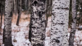 Close up of a Aspen tree trunk. With a blurred background Stock Photo
