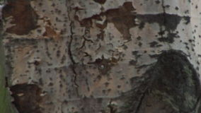 Close-up of aspen tree trunk stock video footage