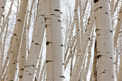 Close up of Aspen Trunks Royalty Free Stock Photo