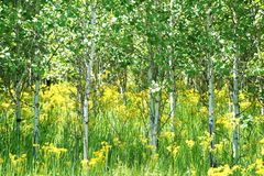 Aspen grove in a meadow in Glacier National Park Stock Images