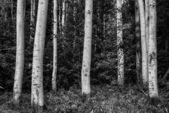 Close Up Aspens BW Royalty Free Stock Photography