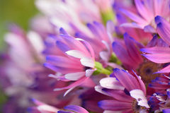 Close up of aster flowers in vibrant lavender and purple. Stock Photography
