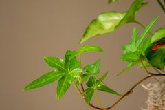 Close up of asterisk ivy with foliage in background on beige backdrop royalty free stock images