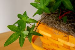 Close up of asterisk ivy with foliage in a basket royalty free stock image