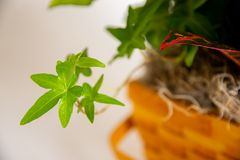 Close up of asterisk ivy with foliage in a basket stock images