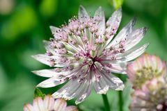 Astrantia flower in bloom Royalty Free Stock Photography
