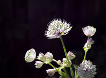 Close-up of astrantia flowers in sunlight. Royalty Free Stock Photo