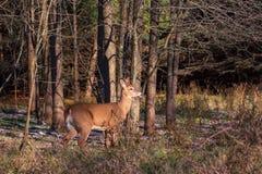 Close up atado branco dos cervos nas madeiras imagem de stock royalty free
