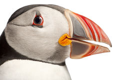 Close-up of Atlantic Puffin or Common Puffin Stock Photo