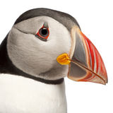 Close-up of Atlantic Puffin or Common Puffin Stock Photos