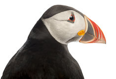 Close-up of Atlantic Puffin or Common Puffin Royalty Free Stock Photos