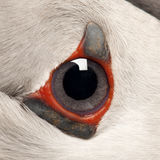Close-up of Atlantic Puffin eye or Common Puffin Royalty Free Stock Image