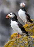 Close up of Atlantic Puffin Fratercula arctica Wildlife animal stock photography