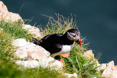 Close up of an Atlantic puffin Royalty Free Stock Photo