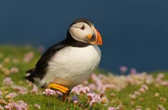 Close-up of Atlantic puffin walking. In the field of thrift, Scotland, UK royalty free stock photos