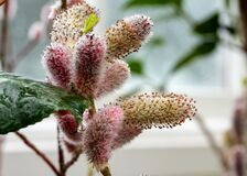 Close up of the attractive flower of Salix gracilistyla `Mount Aso` plant, furry pink catkins which typically blossom in winter