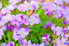Close up Aubrieta flowers in a garden Royalty Free Stock Photography