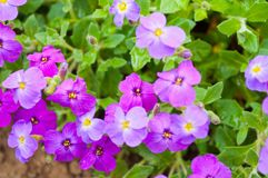 Close up Aubrieta flowers in a garden Stock Images