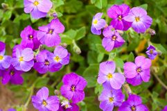 Close up Aubrieta flowers in a garden Stock Photography