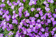 Close up Aubrieta flowers in a garden Royalty Free Stock Image