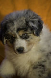 Close-up of an aussie male puppy. Close-up of a beautiful blue merle male puppy of Australian Shepherd that is looking for somethng Royalty Free Stock Image