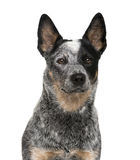 Close-up of an Australian Cattle Dog royalty free stock photography
