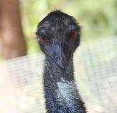 Close up Australian emu. Australian emu stares directly to camera Royalty Free Stock Image