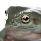 Close-up of Australian Green Tree Frog Stock Photography