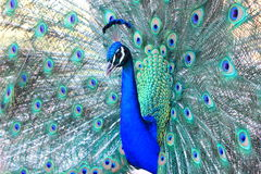 Close up of Australian Peacock Royalty Free Stock Photos