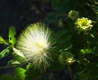 Close up of Australian rain tree silk plant flower. Close up of native tropical Australian raintree albizia lebbeck, or silk tree flowers Stock Photos